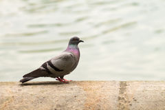 Pigeon in front of fountain Royalty Free Stock Images