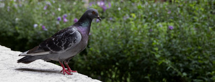 Pigeon in front of a green background. Royalty Free Stock Images