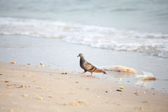 Pigeon with garbage on the beach Royalty Free Stock Photography
