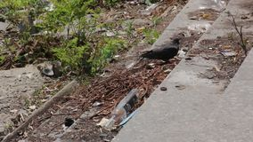 Pigeon on the Garbage. The pigeon walks on the garbage stock video footage