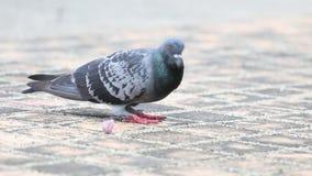 Pigeon in garden stock footage