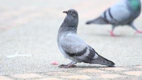 Pigeon in garden stock video