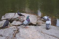 Pigeon getting fresh by the pond stock photography