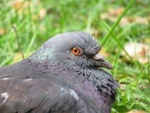 Pigeon glance stock image