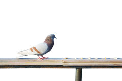 Pigeon is going to eat Royalty Free Stock Photo