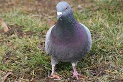 Pigeon on grass Stock Photos