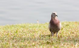 Pigeon on grass Royalty Free Stock Photo