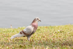 Pigeon on grass Stock Photo