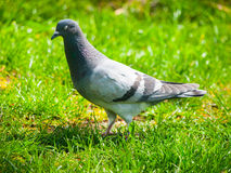 Pigeon in the grass Stock Photos