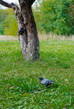 Pigeon in the grass field Royalty Free Stock Photo