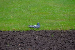 Pigeon on grass. Image with one pigeon on grass stock images