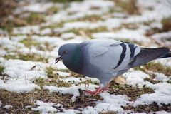 Pigeon in the Grass. A pigeon sits eating in the snowy grass in a park Royalty Free Stock Images