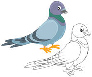 Pigeon. Gray pigeon, color and black-and-white vector illustrations on a white background Stock Image
