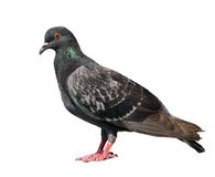 Pigeon. Gray colors. isolated over white background royalty free stock photo