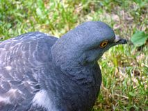 Pigeon gray in the park stock images