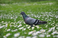 Pigeon on green grass Royalty Free Stock Images