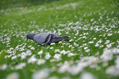 Pigeon on green grass Royalty Free Stock Image