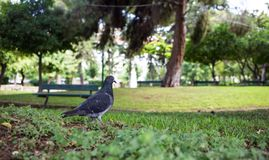 Pigeon on green meadow in a park, green bench, bokeh background, wallpaper. Stock Photo