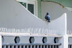 Pigeon grey. Beautiful pigeon close up. City birds. Stock Photography