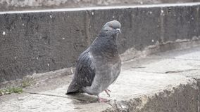 Pigeon grey. Beautiful pigeon close up. City birds. Pigeons of the Church. The bird view. Stock Photography