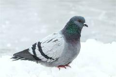 Pigeon grey stock photography