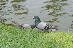 Pigeon. Grey pigeons bird walk in the garden Stock Photos