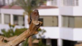 Pigeon gris égyptien se reposant sur une branche sur le fond de l'hôtel banque de vidéos