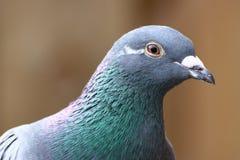 Pigeon gris Photographie stock