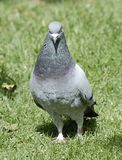 Pigeon gris Photos stock
