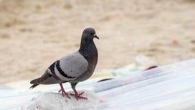 Pigeon gris Photographie stock libre de droits
