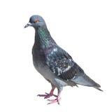 Pigeon gris d'isolement sur le blanc Photo stock