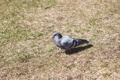 Pigeon gris de colombe marchant au sol images stock