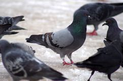 Pigeon gris l'hiver Image stock