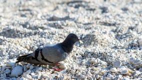 Pigeon gris Oiseaux de ville Colombe - un oiseau de paix Image libre de droits