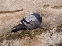 Pigeon gris se reposant sur le mur d'un appartement Photo libre de droits