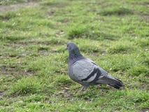 Pigeon gris sur une herbe verte Image libre de droits