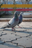 Pigeon on the ground Royalty Free Stock Photos