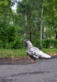 Pigeon on the ground Royalty Free Stock Photo