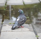 Pigeon on the ground. Near a puddle Stock Photography