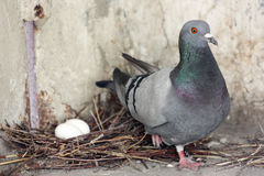 The pigeon guards its eggs. In a nest of branches. Photo for your design Stock Photography