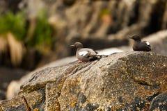 Pigeon Guillemot Stock Image