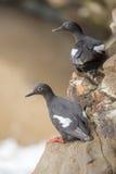 Pigeon Guillemot - Cepphus columba, breeding adult. Santa Cruz, CA Stock Photos