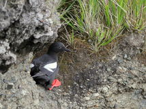 Pigeon Guillemot at a Nest Site Stock Photo