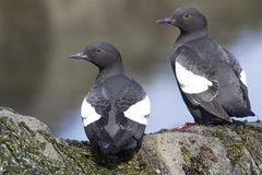 Free PIGEON GUILLEMOT Sitting On The Rocks At Low Tide On A Summer Da Stock Photo - 106916510