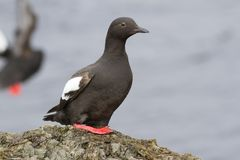 The Pigeon guillemot sitting on a rock in the cast zone during t. He summer low tide stock photography