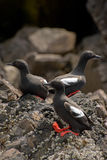 Pigeon Guillemots on rocky shore Stock Photos