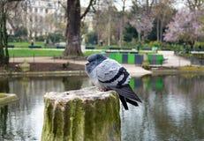 Pigeon hérissé Image libre de droits