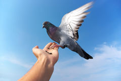 Pigeon on hand Royalty Free Stock Photos