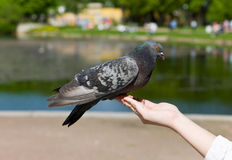 The pigeon on a hand Stock Image