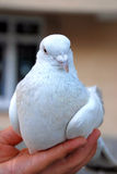 Pigeon in hand. White pigeon in the hands of a young girl Stock Photos